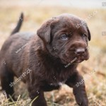 Adorable Chocolate Lab Puppy Blue Eyes Stock Photo Edit Now 1157762410