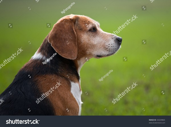 Adult Beagle Dog In Profile Stock 34329865 Shutterstock