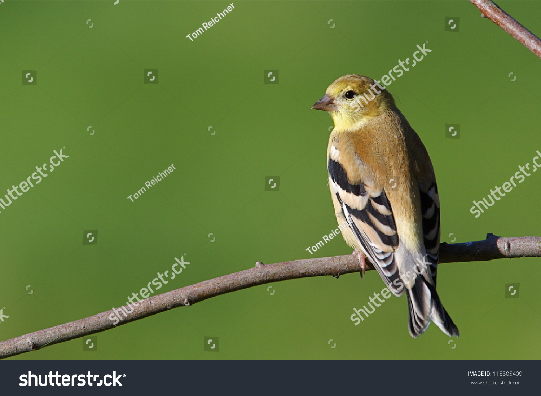 American Goldfinch State Bird Washington Against Stock