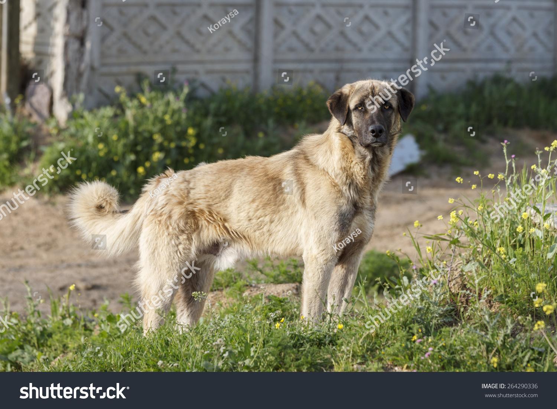 Anatolian Shepherd Dog Stock Photo 264290336 : Shutterstock