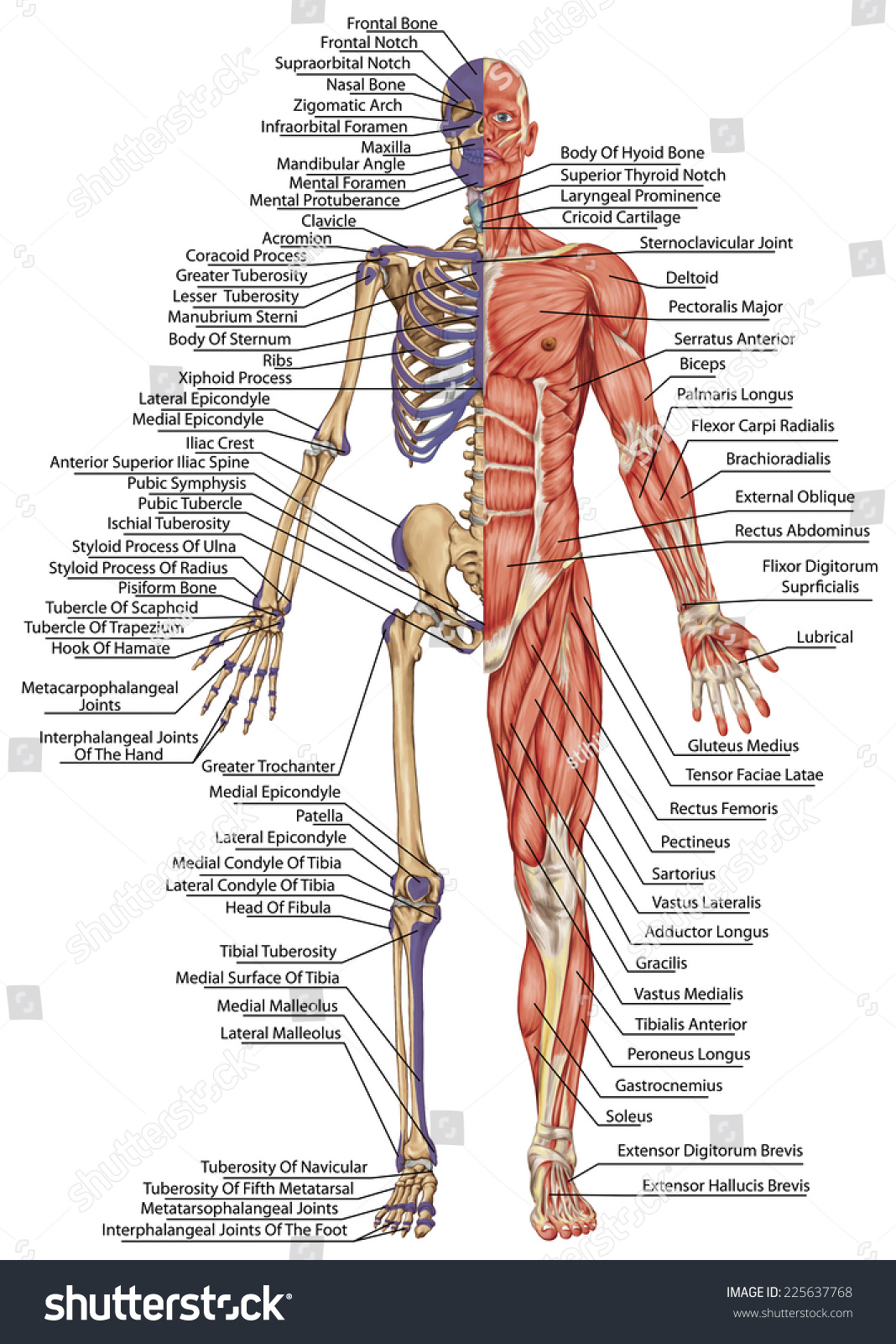 Anatomical Body Human Skeleton Anatomy Of Human Bony System Body Surface Contour And Palpable