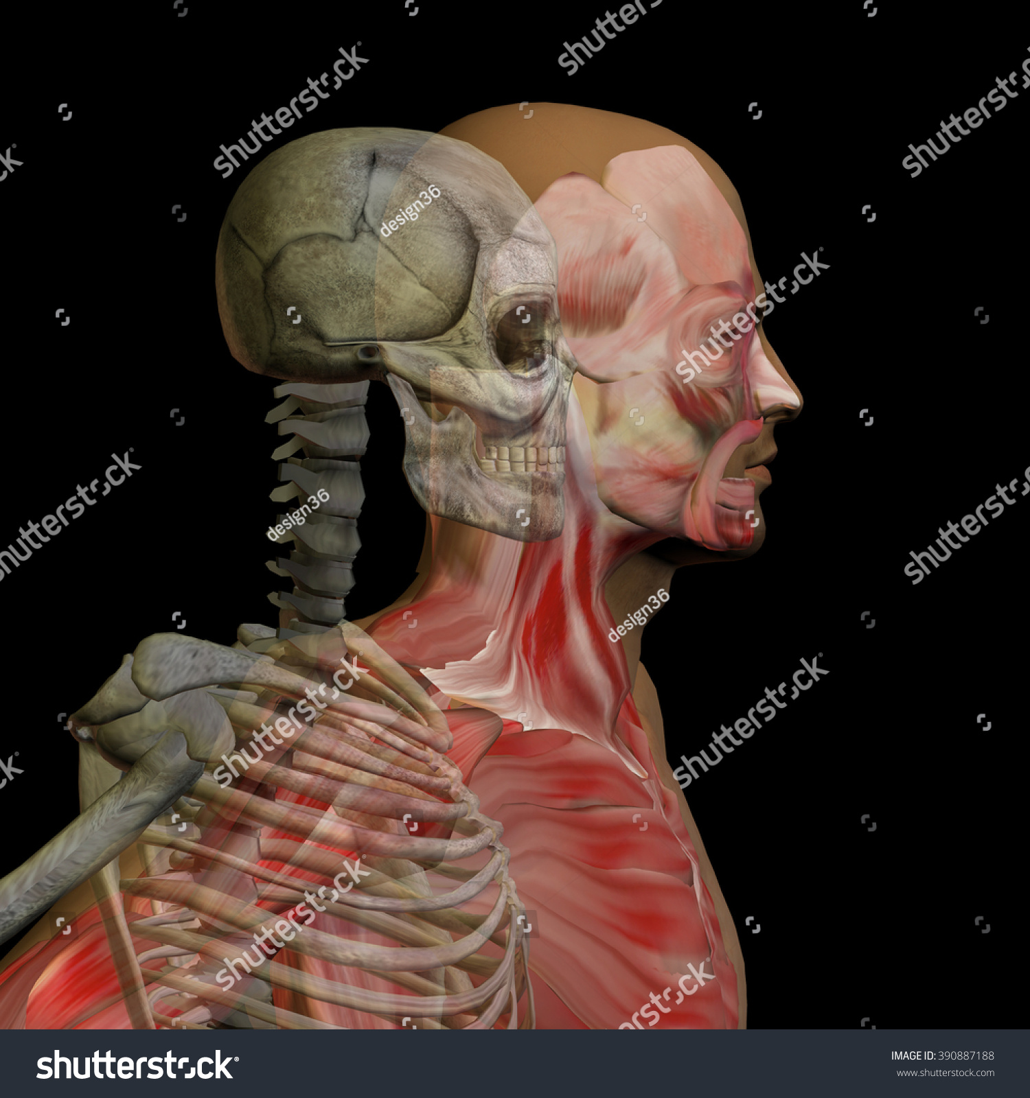 hight resolution of anatomy concept conceptual human man body chest head isolated on background metaphor to medical