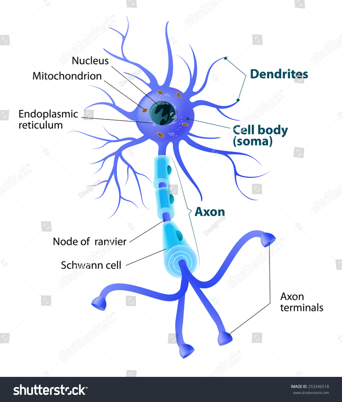 neuron diagram labeled cadet heater wiring of myelin mucosa elsavadorla