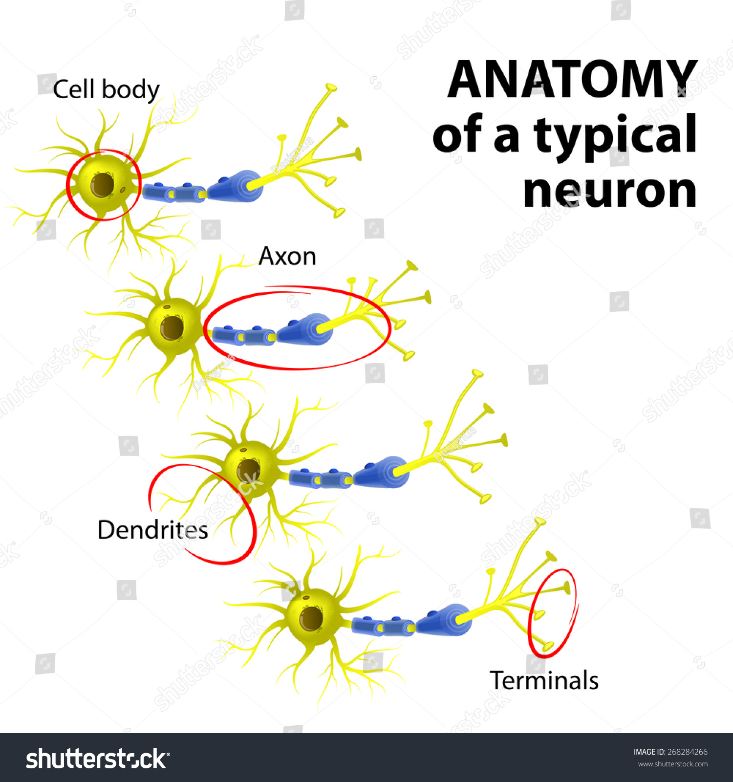 multipolar neuron diagram labeled wiring for a jvc car stereo anatomy typical dendrite cell stock