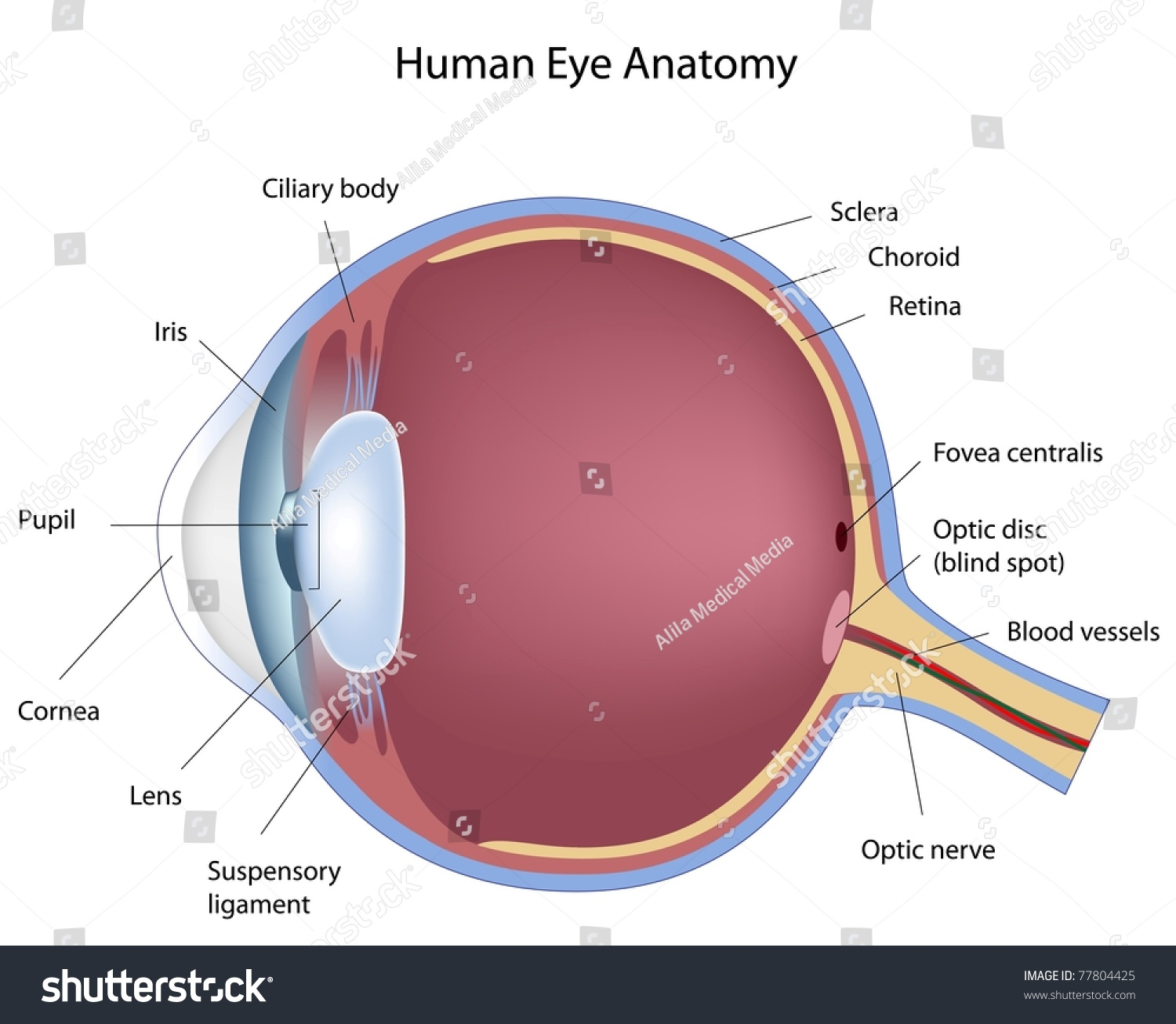 hight resolution of anatomy human eye stock illustration 77804425 shutterstock rh shutterstock com human eye diagram without labels structure of human eye diagram