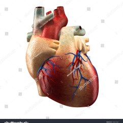 Vintage Red Real Heart Diagram 0 Gauge Wire For And Anatomy Human Isolated On White Stock Illustration