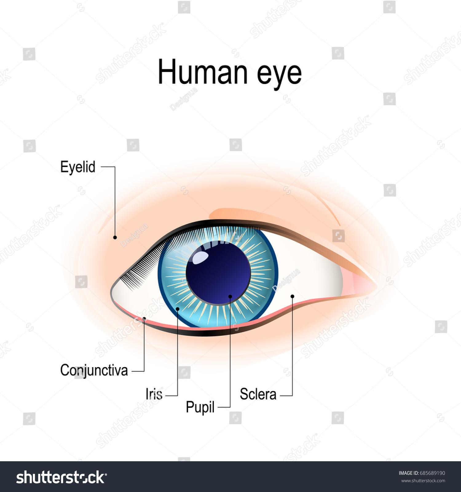 hight resolution of anatomy of the human eye in front view external view schematic diagram detailed