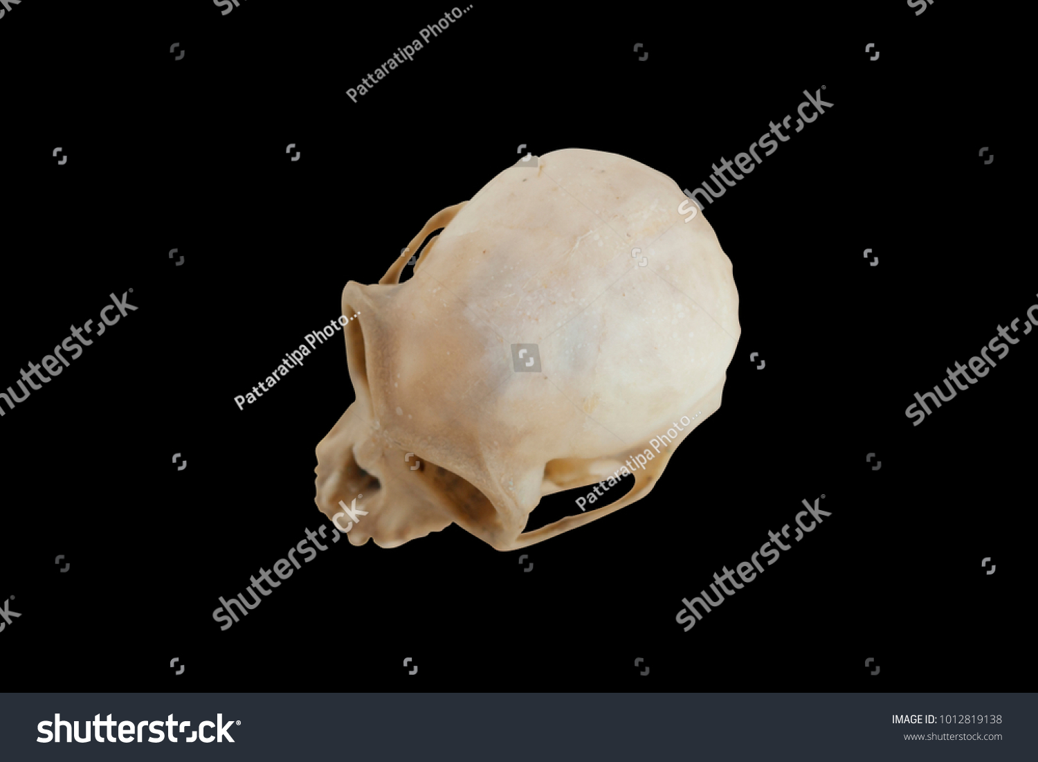 hight resolution of animal skull for study and compos design top view monkey skull