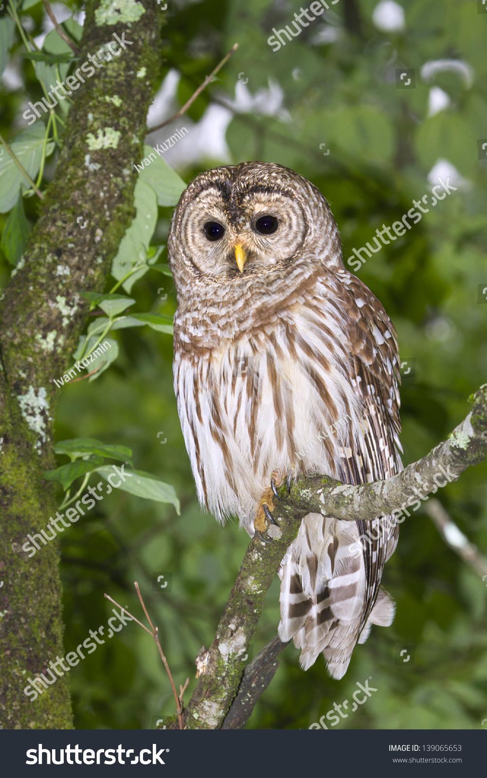 Barred Owl (Strix Varia) Portrait (Georgia, Usa). Stock Photo 139065653 : Shutterstock