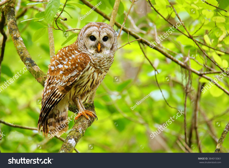 Barred Owl Strix Varia Sitting On 庫存照片 384015061 - Shutterstock