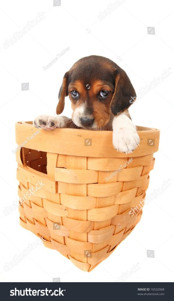 Beagle Puppy In Basket Stock 16532068 Shutterstock
