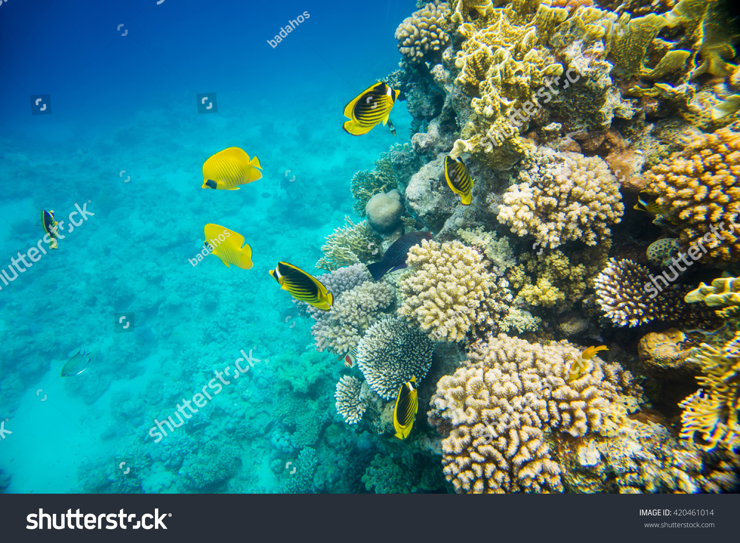 Beautiful And Diverse Coral Reef Of The Red Sea With Fish Stock Photo 420461014 : Shutterstock