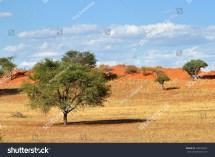 Beautiful Landscape Acacia Trees Kalahari Desert Stock