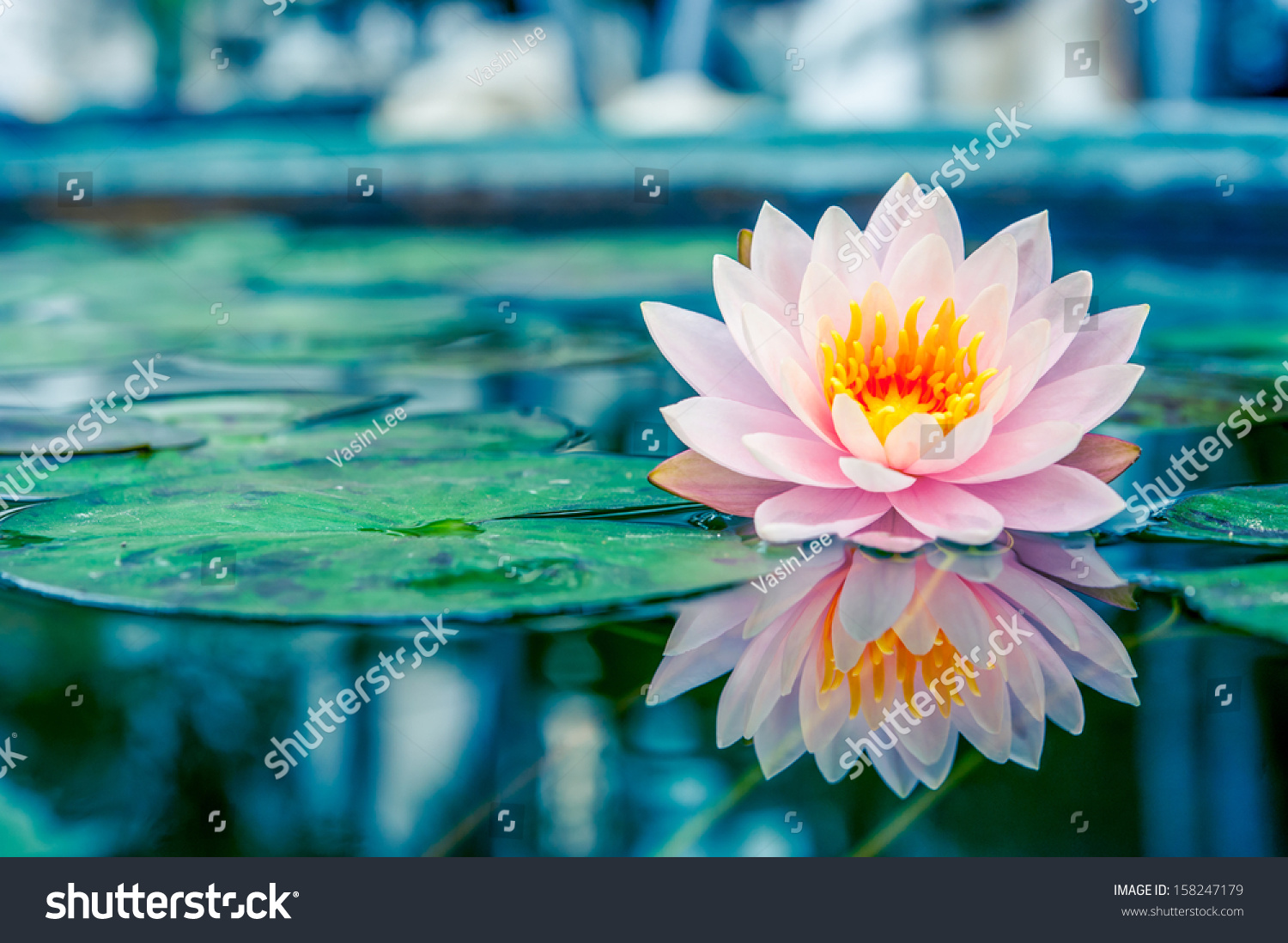 lotus in water plant diagram 2007 ford f150 power window wiring beautiful pink reflection stock photo