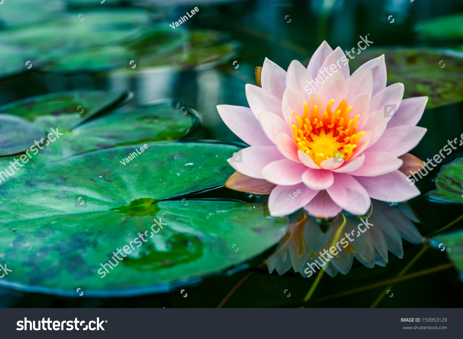 lotus in water plant diagram start capacitor wiring beautiful pink with reflection a