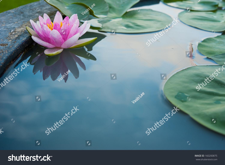 lotus in water plant diagram 2004 saturn ion 2 radio wiring beautiful pink reflection stock photo