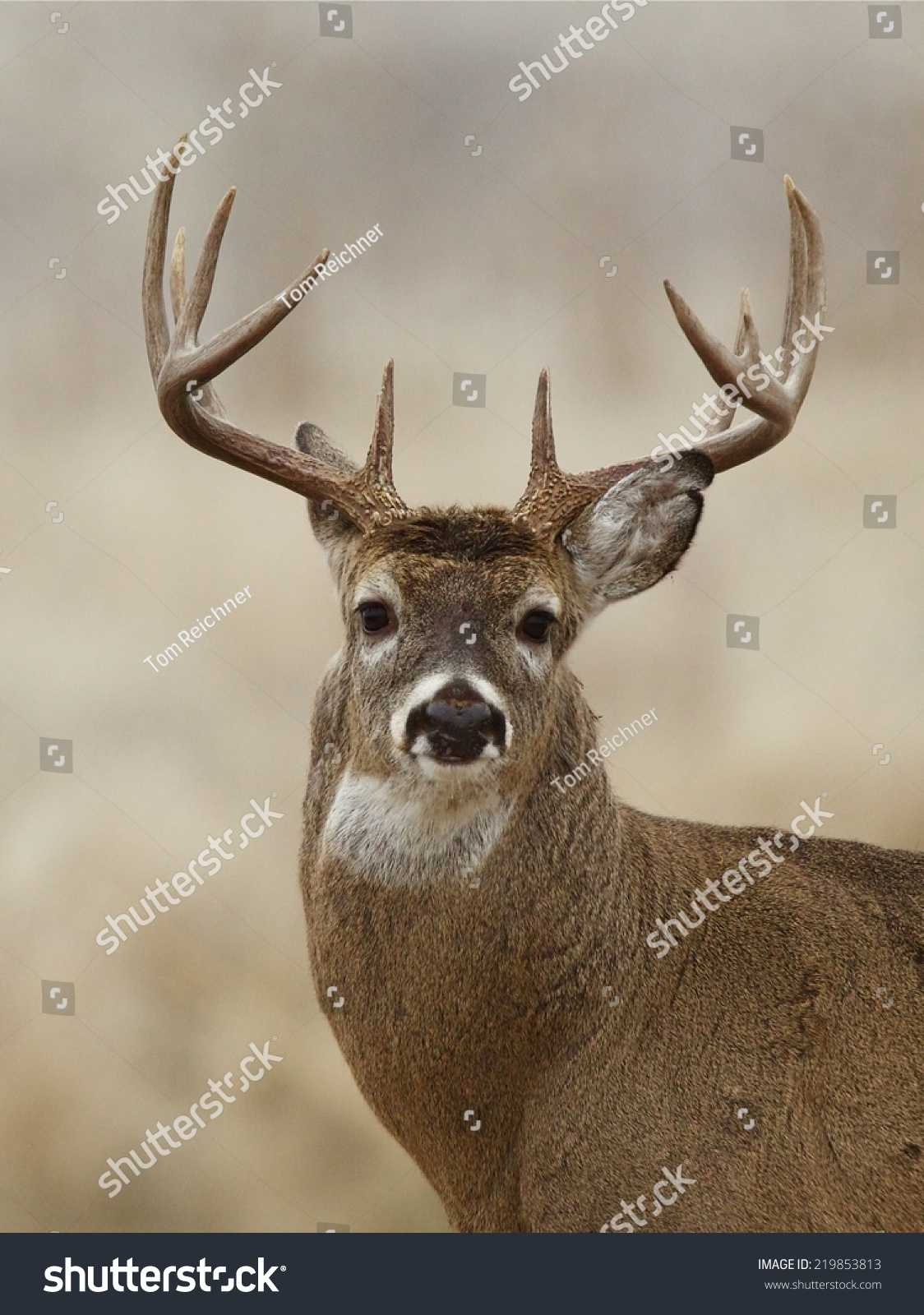 Big Whitetail Buck - Highly Detailed Portrait Of A Trophy Class White-Tailed Deer White Tail Deer Hunting Season In Wisconsin, Minnesota, Michigan ...