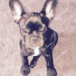 Black White French Bulldog Puppy Stock Photo Edit Now 1350556379