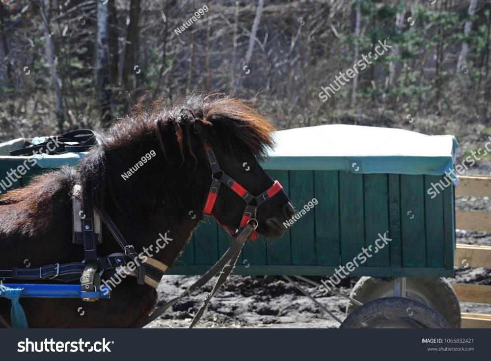 medium resolution of black pony in harness