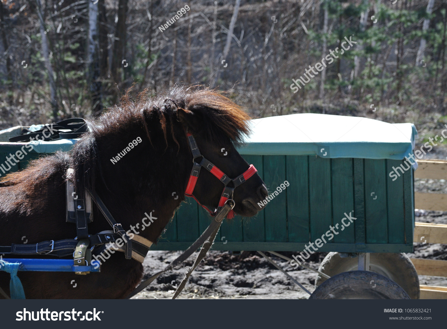 hight resolution of black pony in harness