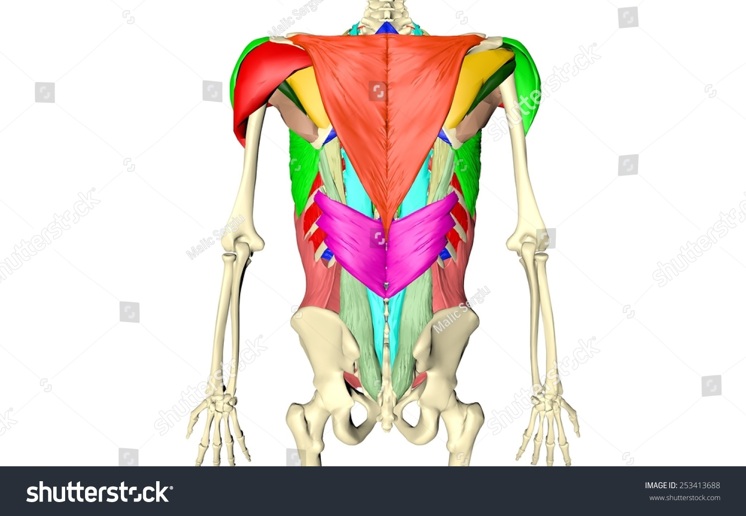 Body Muscles Body Skeleton Spinal Muscles Belly Muscles Abdominal Bones Ribs Spine