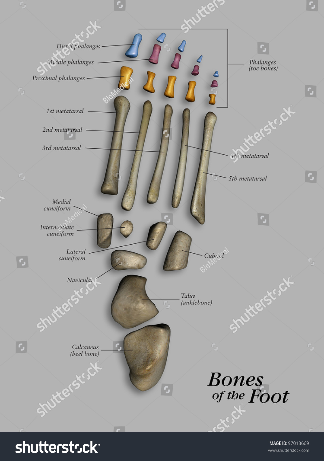 human foot skeleton diagram labeled erd for inventory system bones of the stock photo 97013669 shutterstock