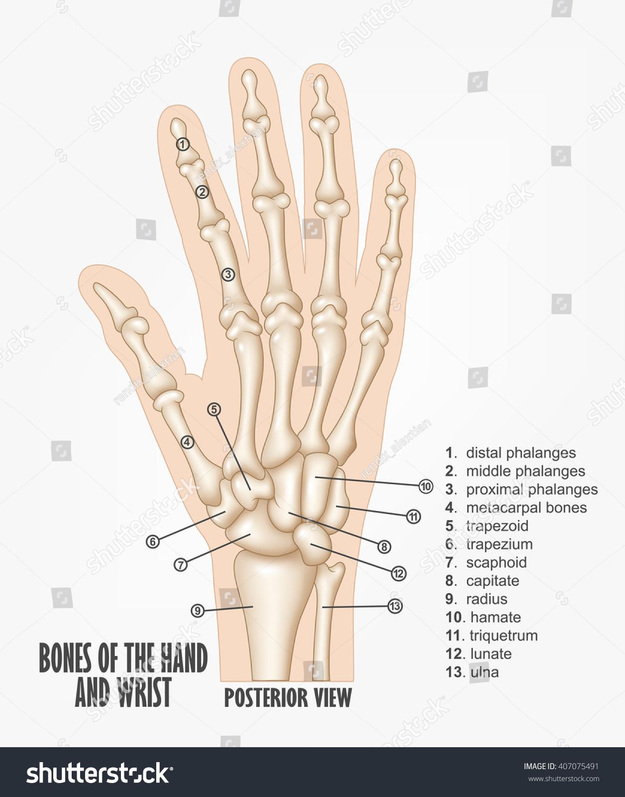 wrist and hand unlabeled diagram 2000 international 4900 wiring bones anatomy stock illustration royalty free of the