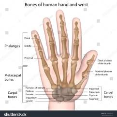 Wrist And Hand Unlabeled Diagram Major Arteries Veins Bones Labeled Stock Illustration 228843196 Shutterstock