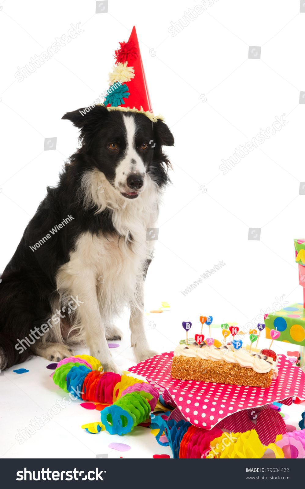 Border Collie Having Colorful Birthday Stock Photo