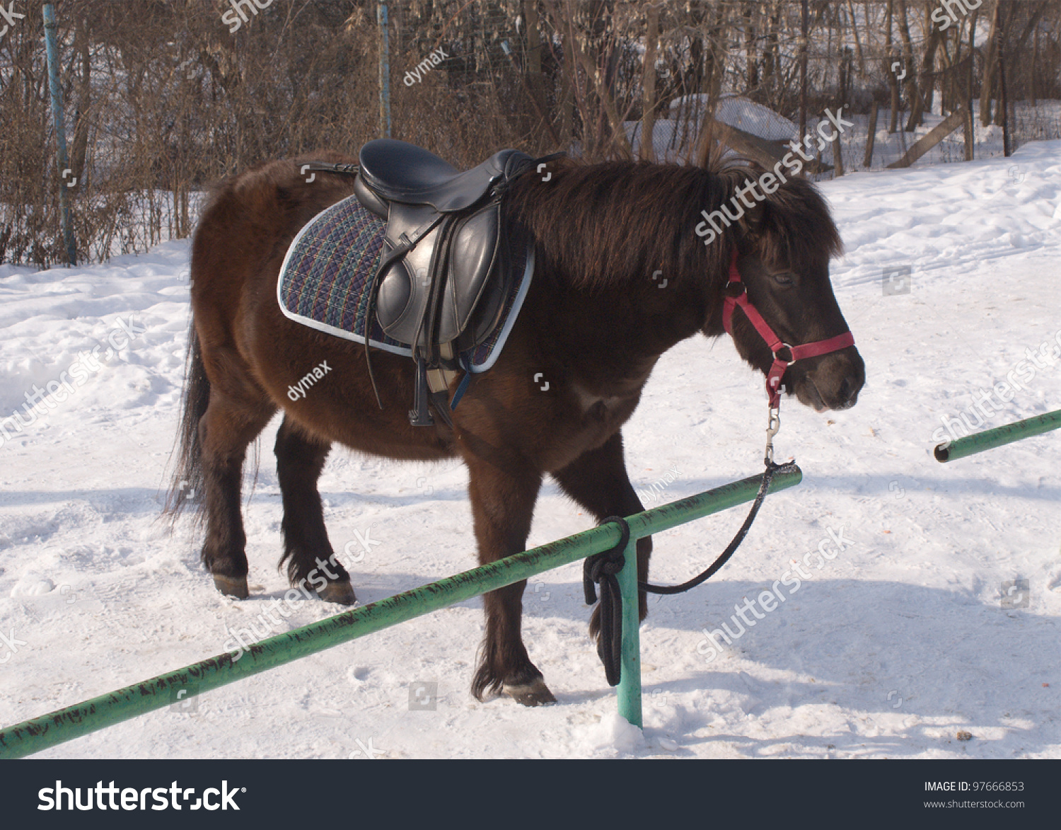 hight resolution of brown small pony in harness stands on snow outdoor