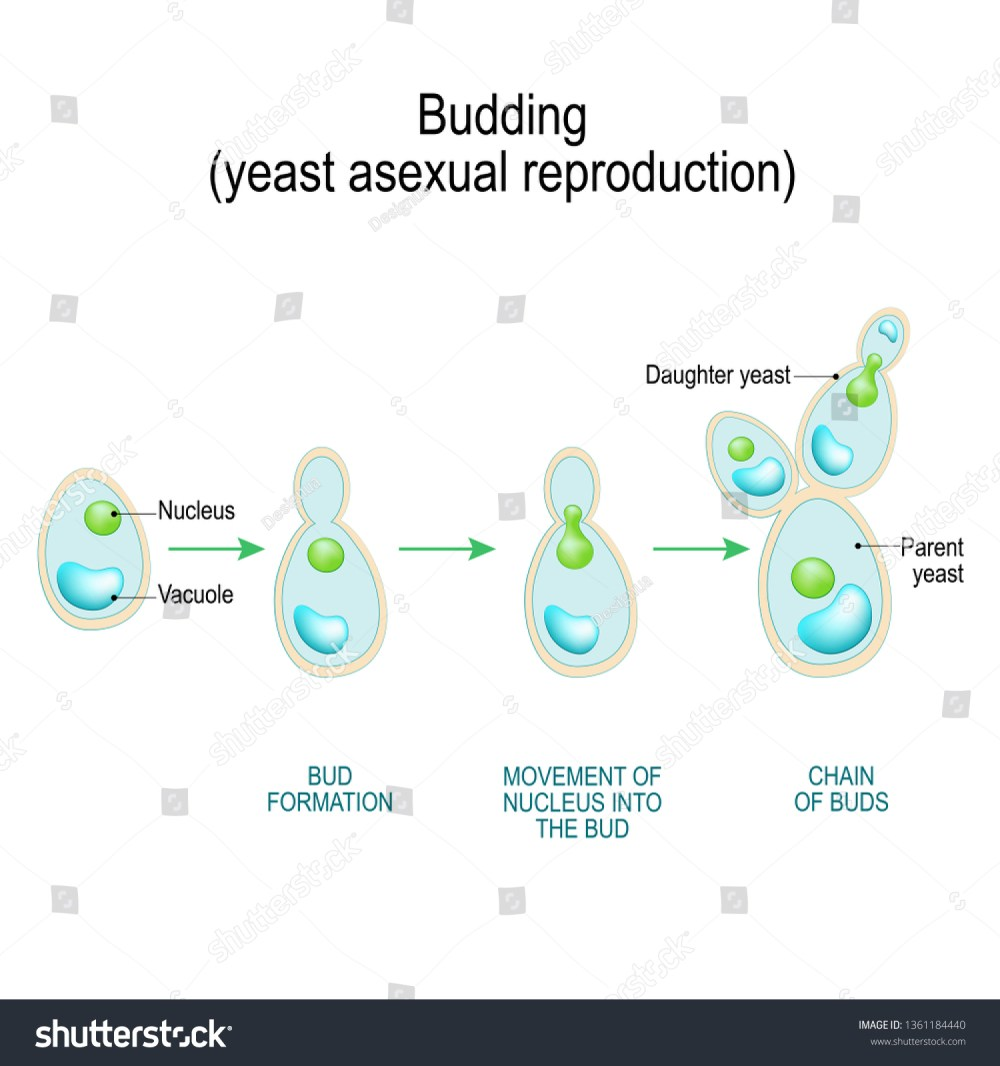 medium resolution of budding asexual reproduction of yeast cell cross section of a fungal hyphae cells