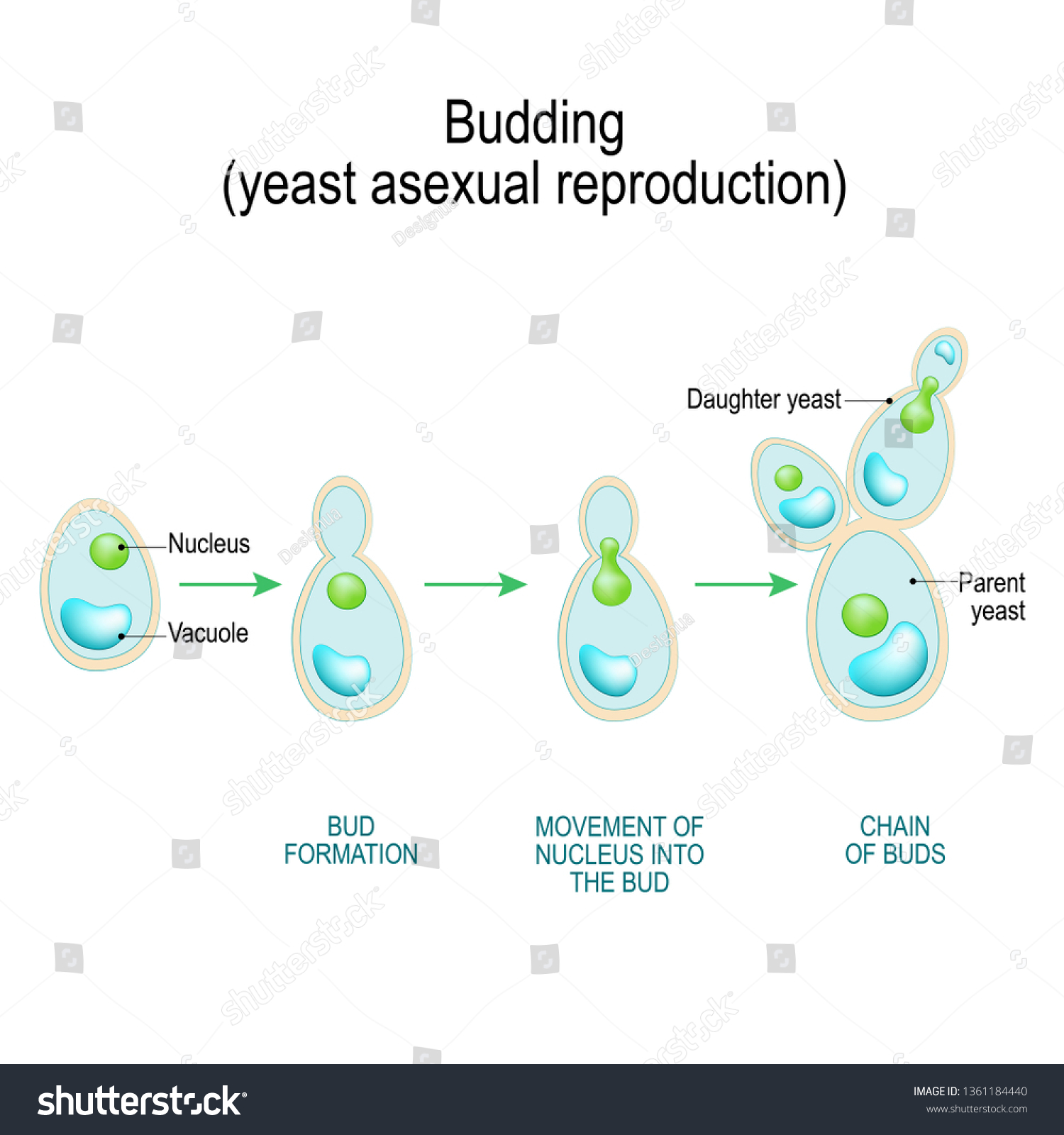 hight resolution of budding asexual reproduction of yeast cell cross section of a fungal hyphae cells