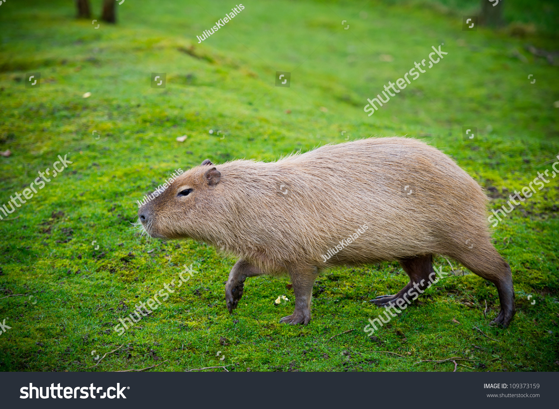 Capybara - Kapibara (Hydrochoerus Hydrochaeris ), The Largest Living Rodent In The World. Stock Photo 109373159 : Shutterstock