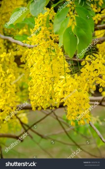 Cassia Fistula. National Flower Of Thailand. Golden