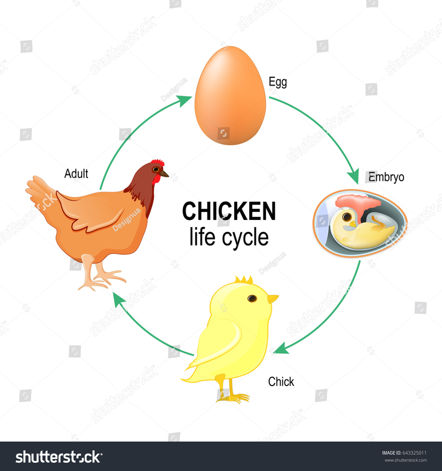 Chicken Life Cycle Egg Embryo Chick Stock Illustration
