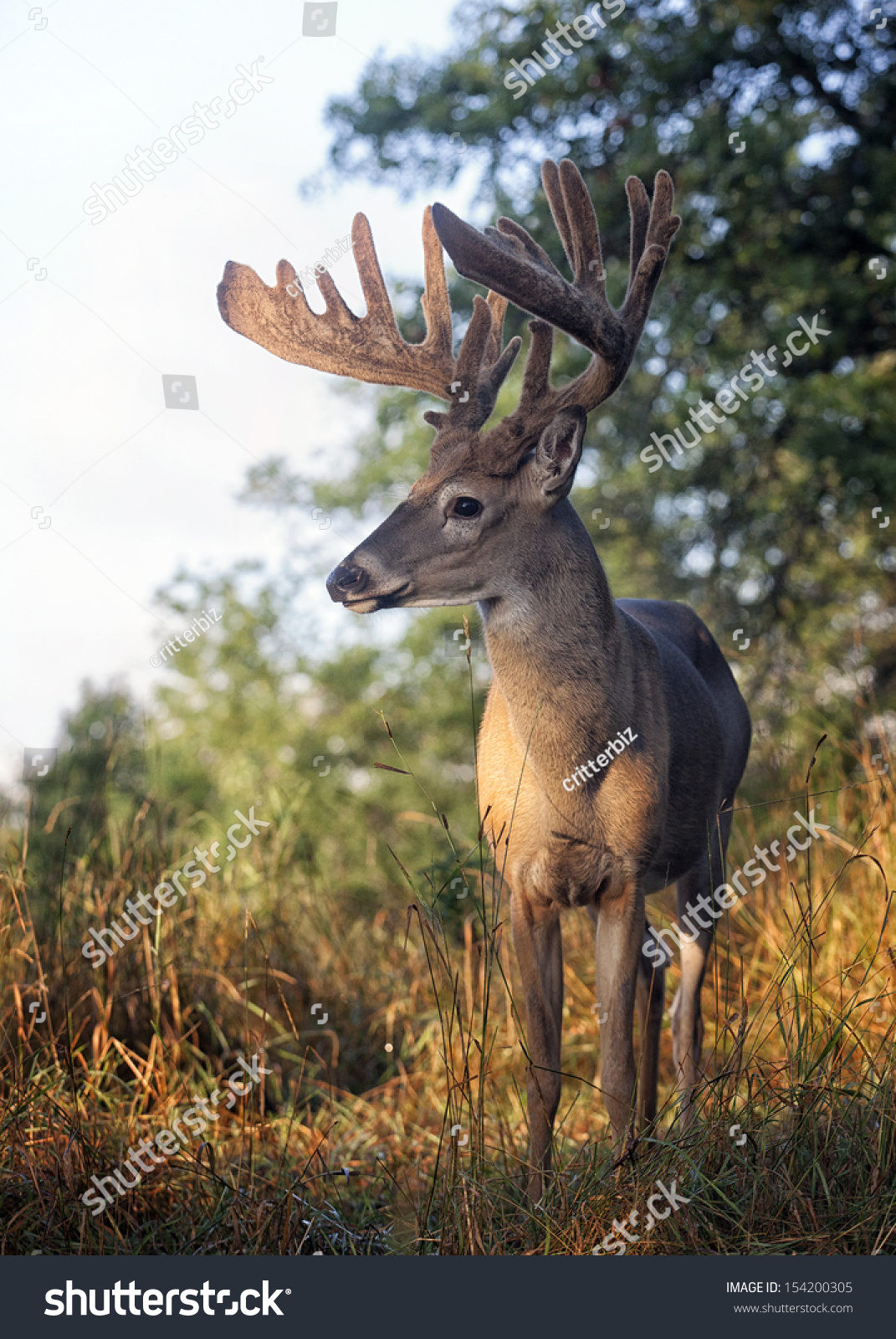 Close Up Head And Shoulders Image Of A Whitetail Deer Buck In Late Summer. Velvet Has Been Rubbed Off Antlers. Stock Photo 154200305 : Shutterstock