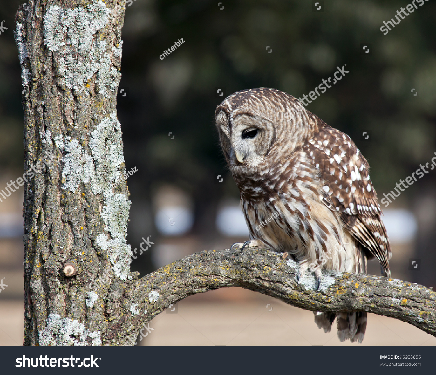Close Up Of A Barred Owl Perching On An Oak Tree Branch Stock Photo 96958856 : Shutterstock
