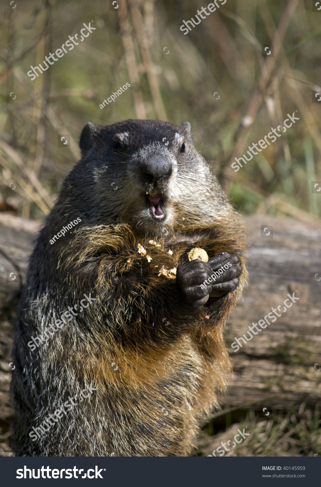 Close Up Of A Woodchuck Eating A Peanut. The Groundhog (Marmota Monax), Also Known As A Woodchuck Or Whistle-Pig, Or In Some Areas As A Land ...