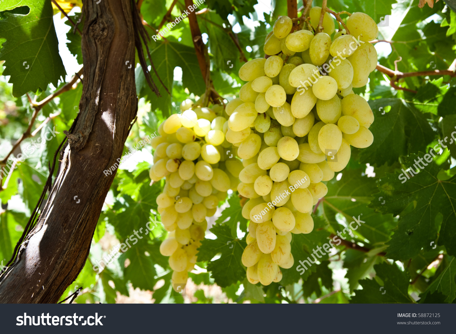 Clusters Of White Table Grapes Hang From The Vine On A Trellis In Hebron, Palestine. Stock Photo 58872125 : Shutterstock