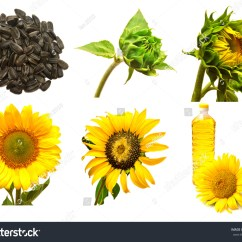 Sunflower Plant Life Cycle Diagram A Labelled Of Fish Seed Germination Process Sprouting