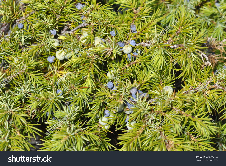 Common Juniper Juniperus Communis Stock Photo 293706158 : Shutterstock