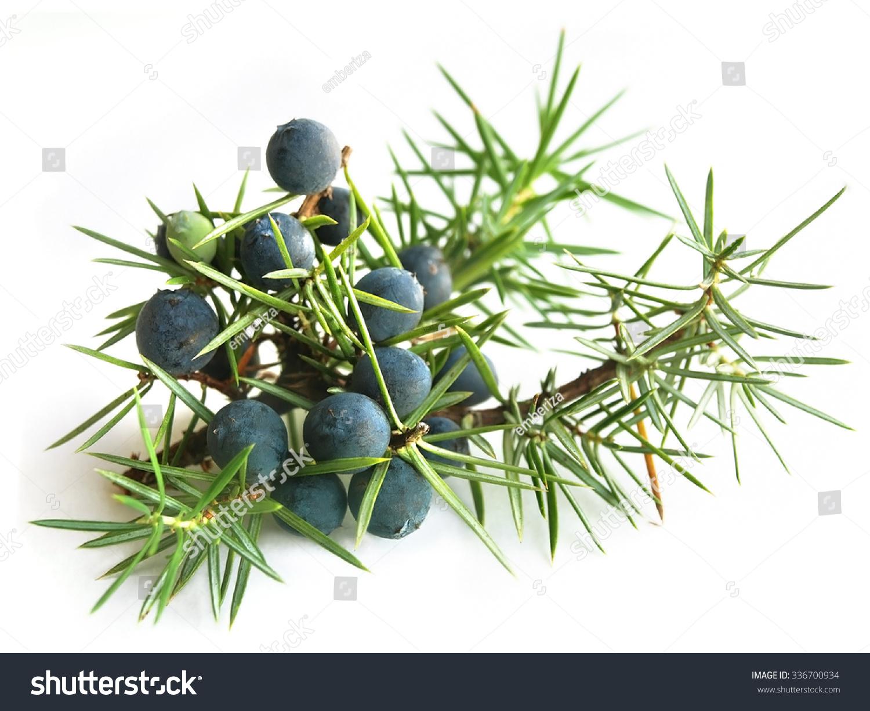 Common Juniper (Juniperus Communis) Stock Photo 336700934 : Shutterstock