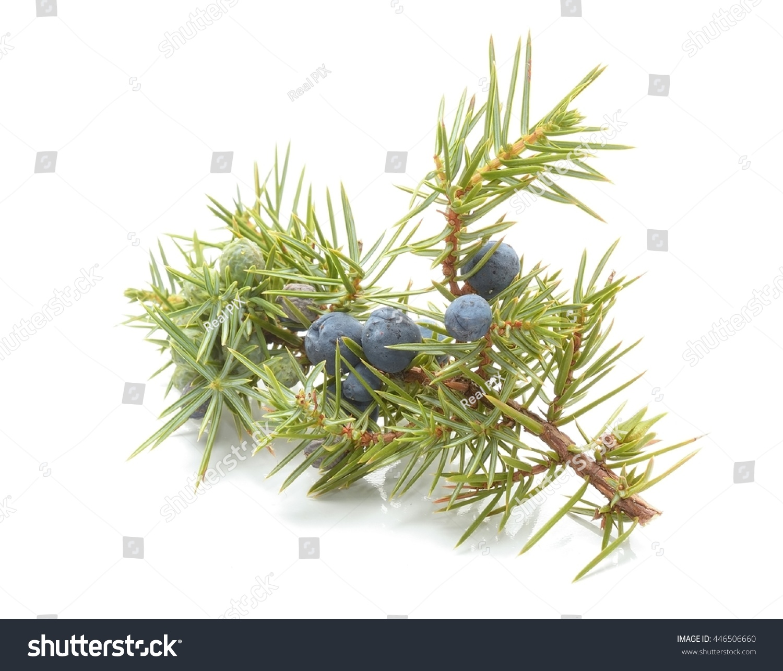 Common Juniper (Juniperus Communis) Fruits Stock Photo 446506660 : Shutterstock