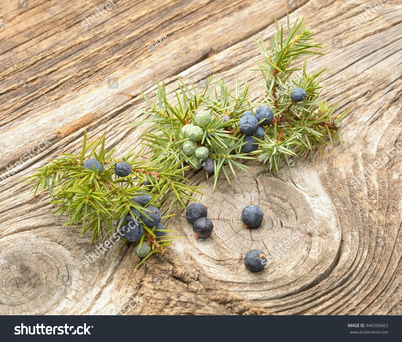 Common Juniper (Juniperus Communis) Fruits Stock Photo 446506663 : Shutterstock