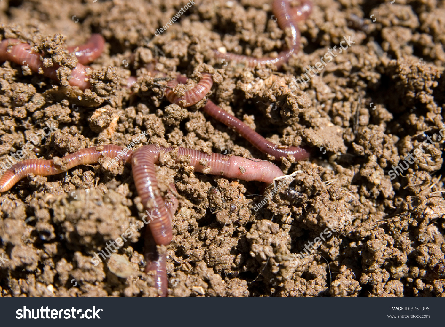 Composting Worms Burrowing Through The Dirt In The Garden Stock Photo 3250996 : Shutterstock