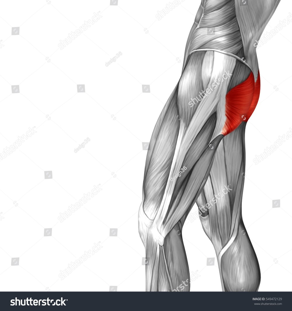 medium resolution of concept conceptual 3d illustration human upper leg anatomy or anatomical and muscle isolated on white background