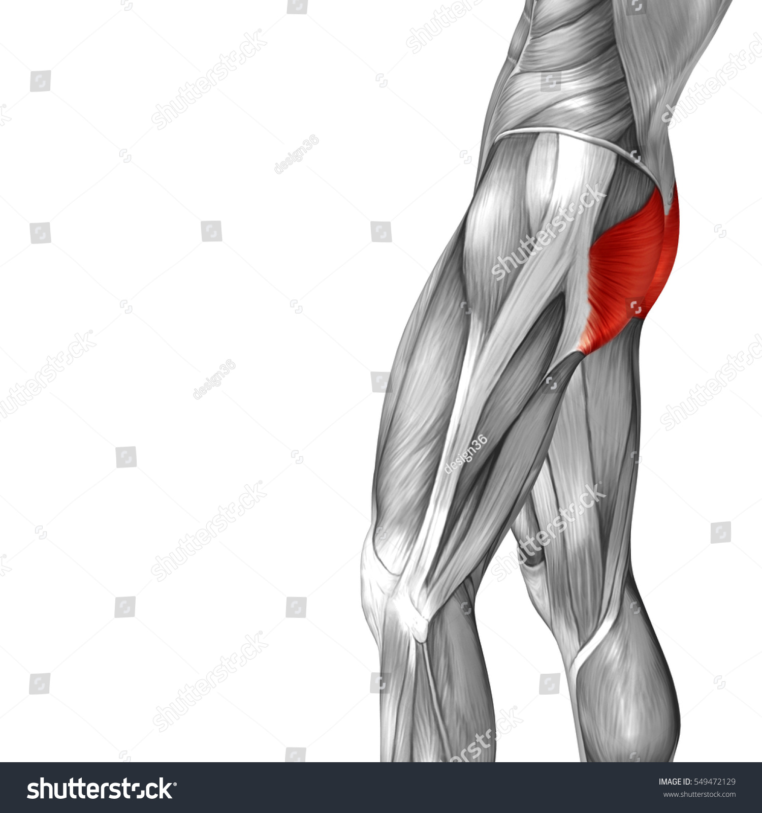 hight resolution of concept conceptual 3d illustration human upper leg anatomy or anatomical and muscle isolated on white background