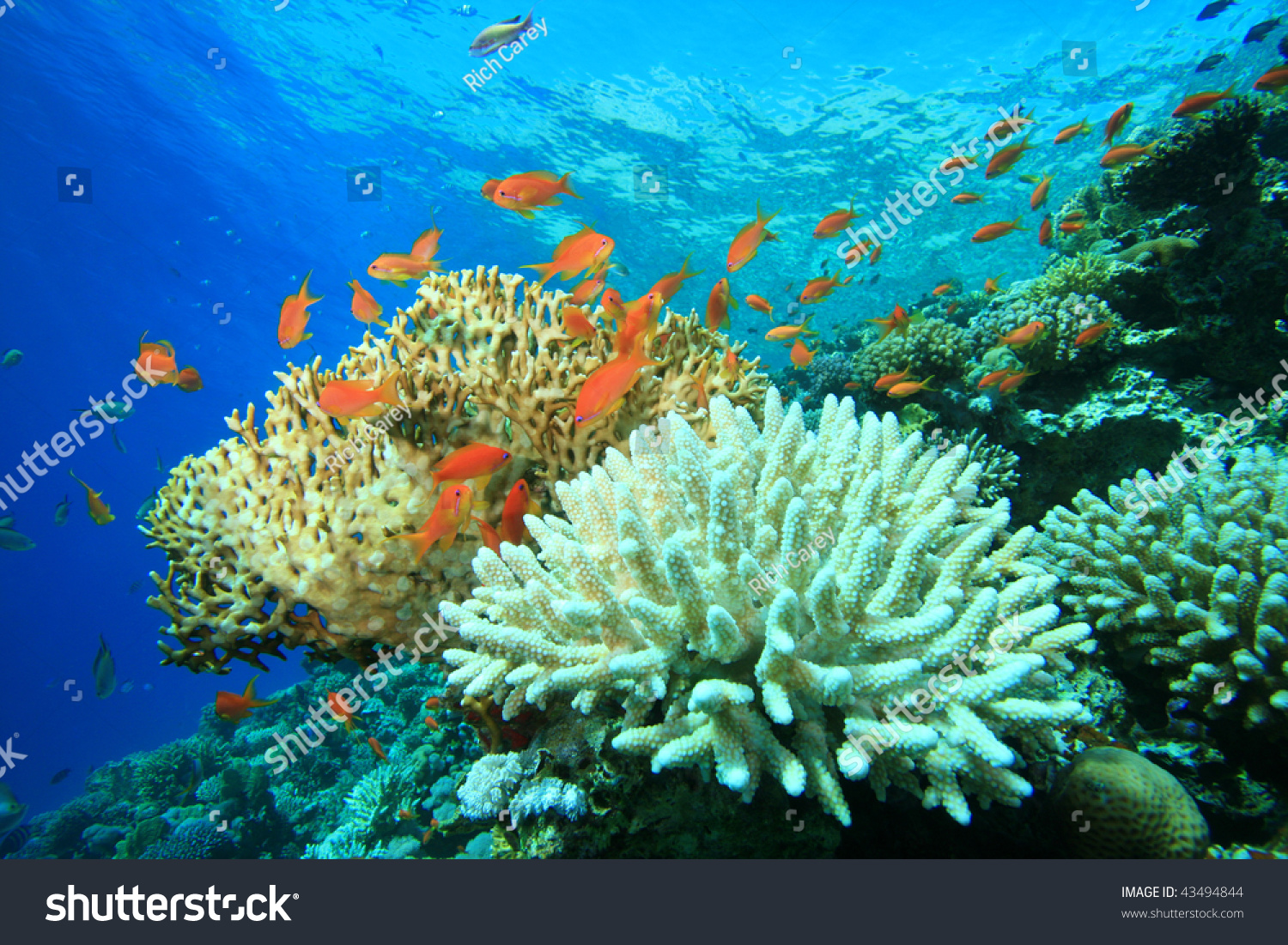 Coral Reef With Acropora And Fire Corals Stock Photo 43494844 : Shutterstock