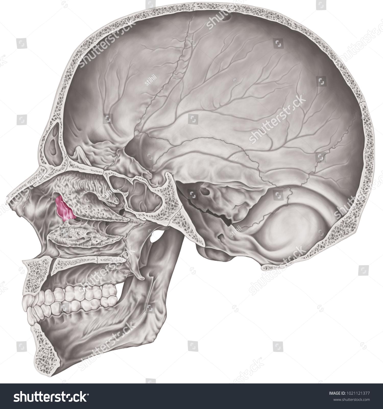 hight resolution of the lacrimal bone of the cranium the bones of the head