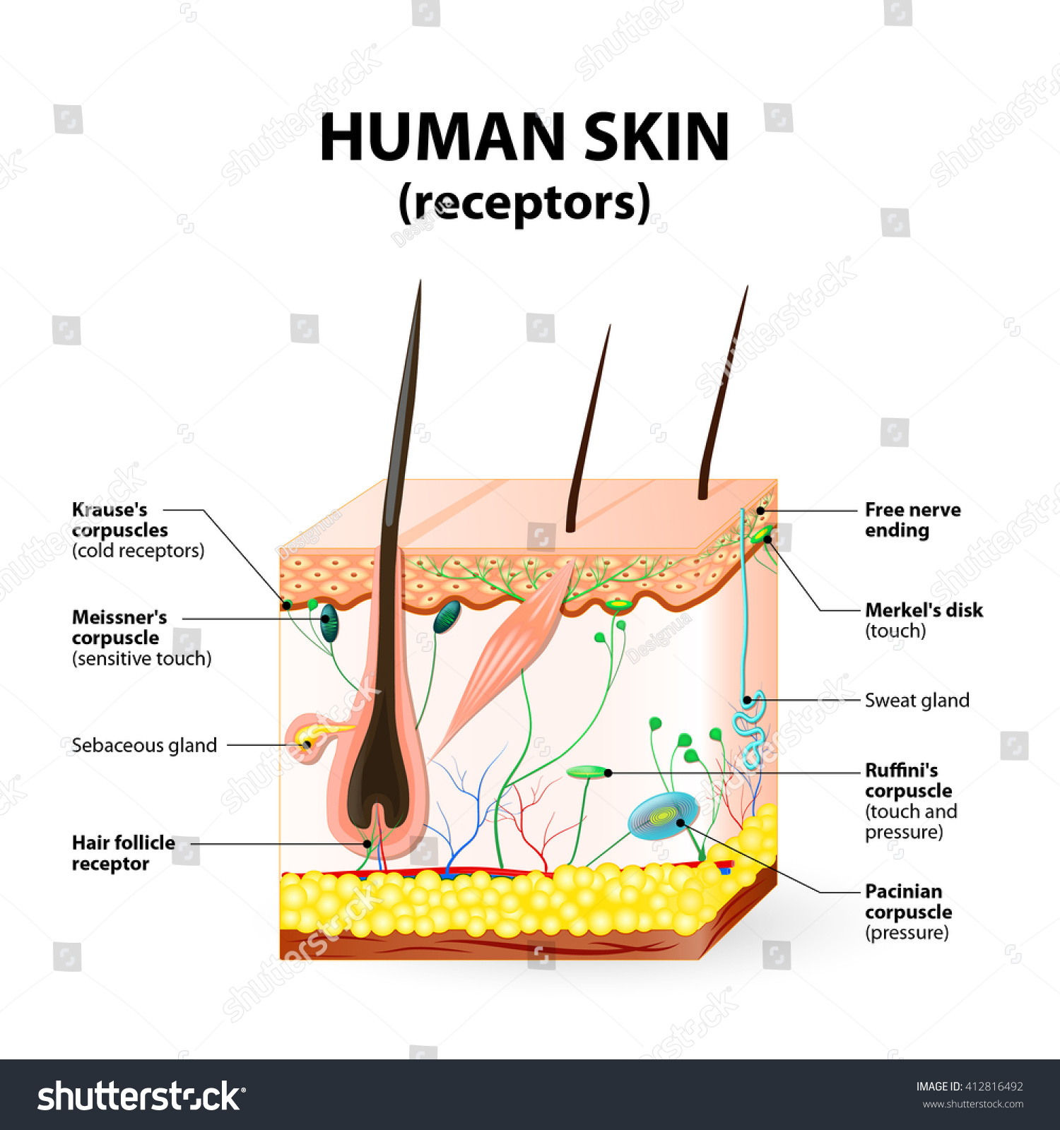 Cross Section Human Skin Pressure Vibration Stock